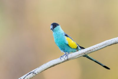 Hooded Parrot - Male (Psephotus dissimilis)1