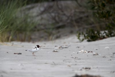 Hooded Plover - Habitat Shot (Thinornis cucullatus)