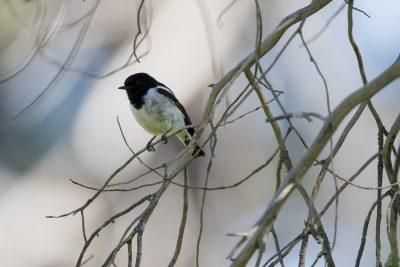 Hooded Robin - Male (Melanodryas Cucullata Cucullata) - Back Yamma, NSW