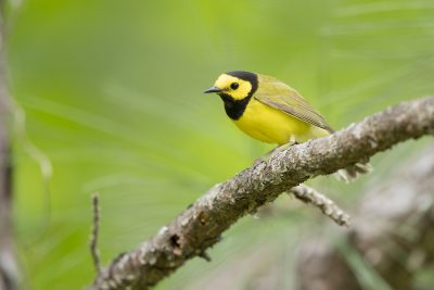Hooded Warbler - Male (Setophaga citrina)