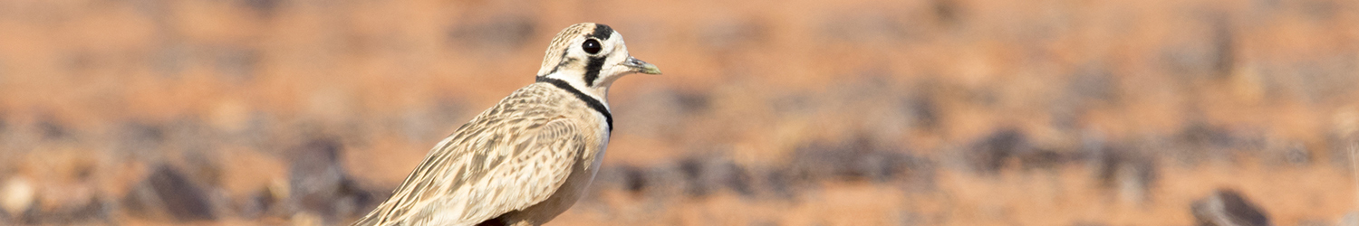 inland-dotterel-male-alice-springs-nt