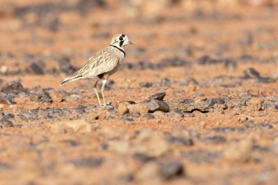 Inland Dotterel (Charadrius australismale) - Alice Springs, NT