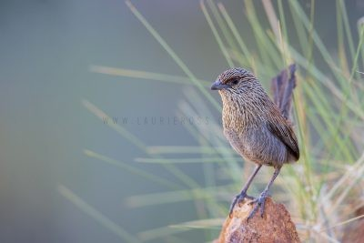 Kalkadoon Grasswren - Male (Amytornis ballarae)