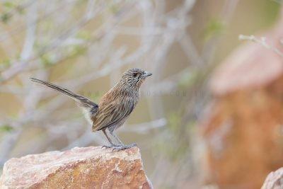 Kalkadoon Grasswren - Male (Amytornis ballarae)10