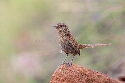 Kalkadoon Grasswren - Male (Amytornis ballarae)11
