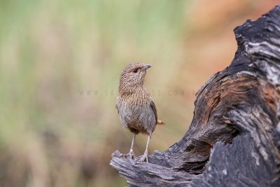Kalkadoon Grasswren - Male (Amytornis ballarae)12
