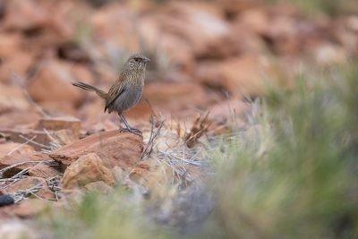Kalkadoon Grasswren - Male (Amytornis ballarae)2