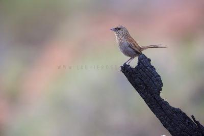 Kalkadoon Grasswren - Male (Amytornis ballarae)5