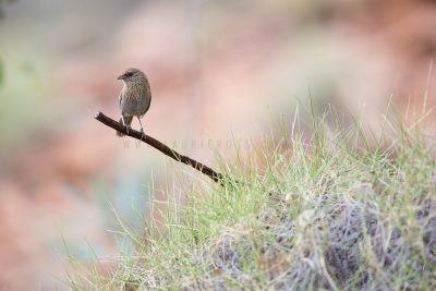 Kalkadoon Grasswren - Male (Amytornis ballarae)6
