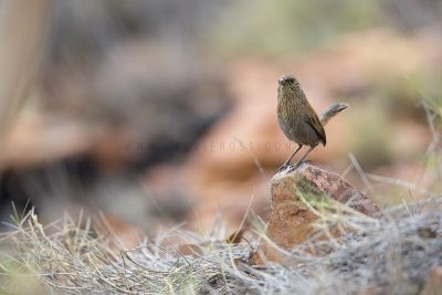 Kalkadoon Grasswren - Male (Amytornis ballarae)7