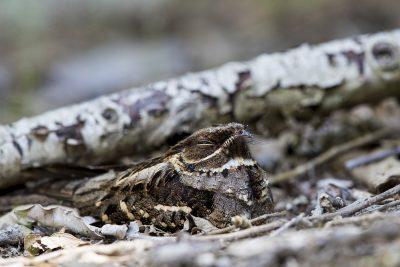 Large-tailed Nightjar - On nest (Caprimulgus macrurus)1
