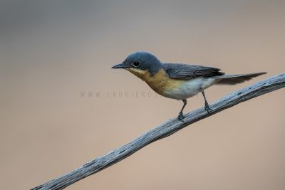 Leaden Flycatcher - Female (Myiagra rubecula concinna).1