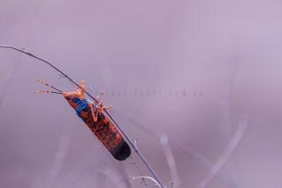 Leichardt's Grasshopper