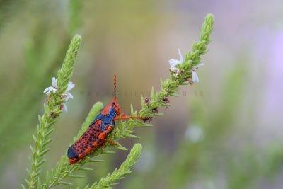 Leichardt's Grasshopper.1