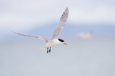 Lesser Crested Tern (Onychoprion anaethetus anaethetus)