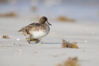 Lesser Scaup - Female (Aythya affinis)