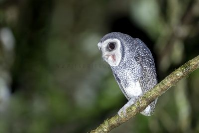Lesser Sooty Owl - Screaming