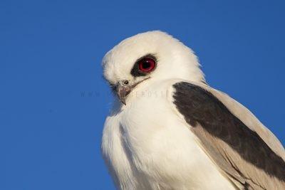 Letter-winged Kite - Close Up (Elanus scriptus)