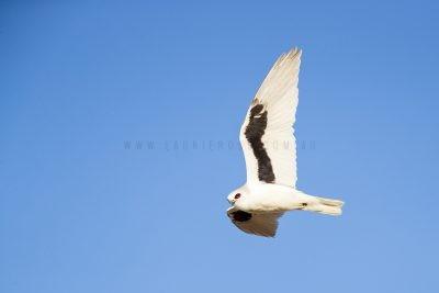Letter-winged Kite (Elanus scriptus)