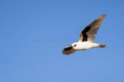 Letter-winged Kite (Elanus scriptus)1