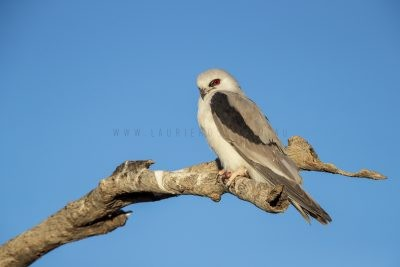 Letter-winged Kite (Elanus scriptus)4