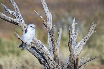 Letter-winged Kite - Perched.