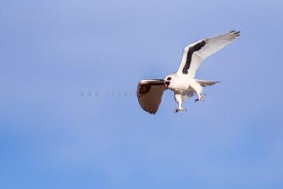 Letter-winged Kite - Screaming in flight