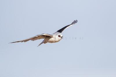 Letter-winged Kite.1