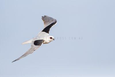 Letter-winged Kite.5