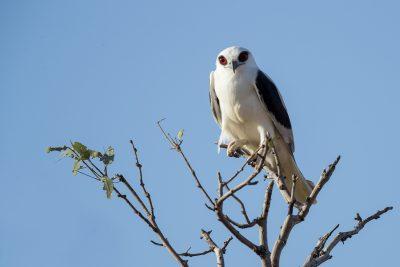 Letter-winged Kite(Elanus scriptus) - Simpson Desert, NT