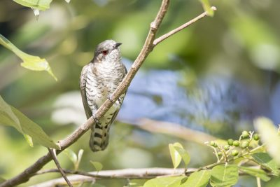Little Bronze-Cuckoo (Chalcites minutillus minutillus) - Casuarina Coastal Reserve, Darwin