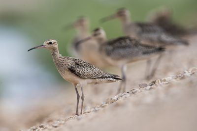 Little Curlew (Numenius minutus)1