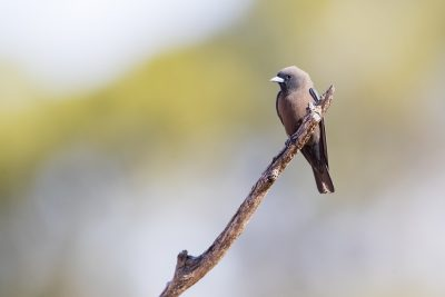 Little Woodswallow (Artamus minor)