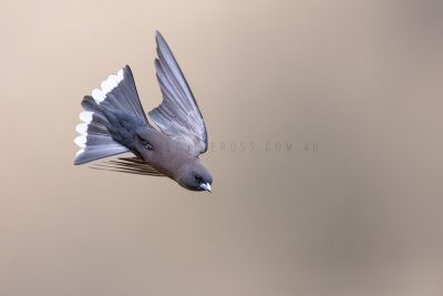 Little Woodswallow - In flight