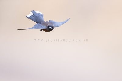 Little Woodswallow - In Flight.1