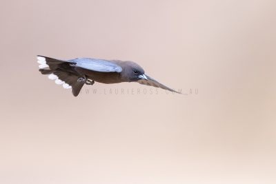 Little Woodswallow - In Flight.2