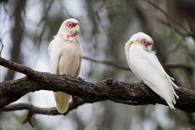 Long-billed Corella - Two (Cacatua tenuirostris)