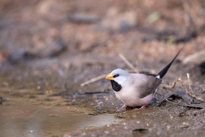 Long-tailed Finch (7)