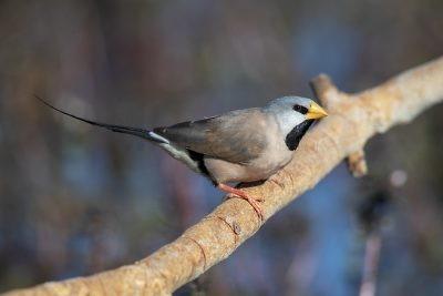 Long-tailed Finch (Poephila acuticauda hecki).1