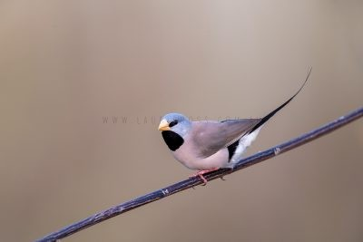 Long-tailed Finch.1