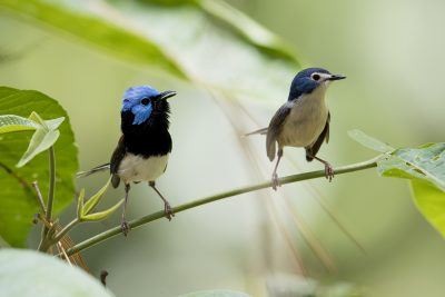 Lovely Fairy-wren - Pair (Malurus amabilis)