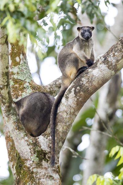 Lumholtz's Tree-kangaroo - Nerada Tree