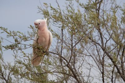Major Mitchell's Cockatoo (Lophochroa leadbeateri mollis) - Barrow Creek, NT