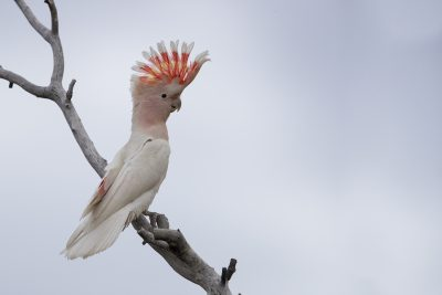 Major Mitchell's Cockatoo (Lophochroa leadbeateri leadbeateri)