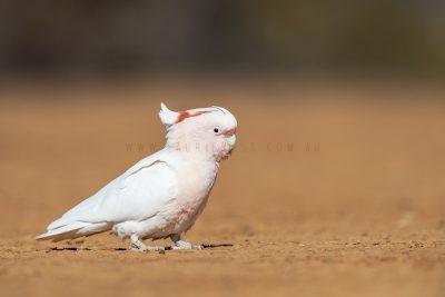 Major Mitchell's (Pink) Cockatoo - Feeding on group (Lophochroa leadbeateri leadbeateri)6