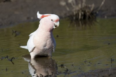 Major Mitchell's (Pink) Cockatoo (Lophochroa leadbeateri leadbeateri)