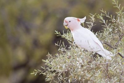 Major Mitchell's (Pink) Cockatoo (Lophochroa leadbeateri leadbeateri)2