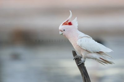 Major Mitchell's (Pink) Cockatoo (Lophochroa leadbeateri leadbeateri)6