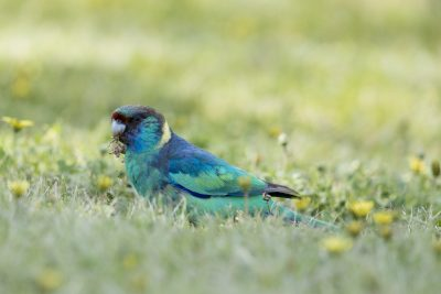 Mallee Ringneck - Male (Barnardius Zonarius Barnardi) - Griffith, NSW