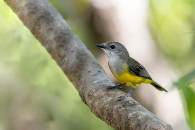 Mangrove Golden Whistler - Female